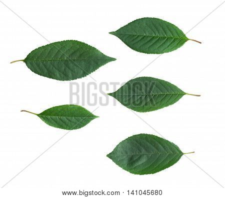 Cherry tree leaves isolated on white background