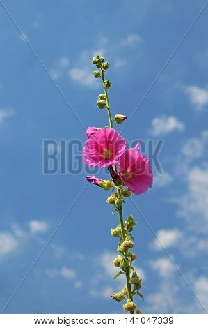 Bright Pink Hollyhock  against a summertime blue sky