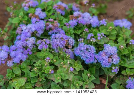 Ageratum houstonianum or flossflower. Beautiful and rich nature of the Crimea.
