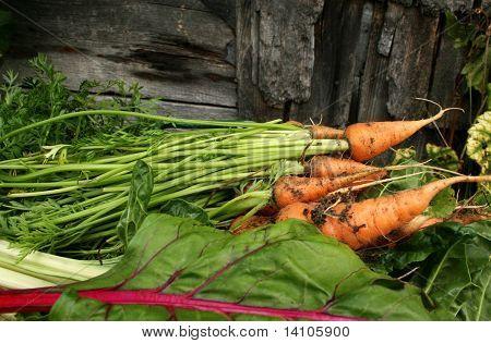 Garden carrots  and swiss chard