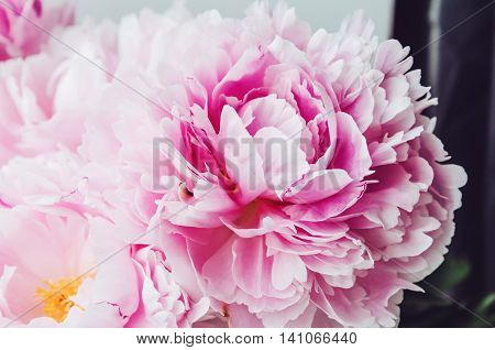 Beautiful fresh pink peony flower macro. Floral background. Bloom flowers time. Beauty and spa. Feelings and emotion concept.