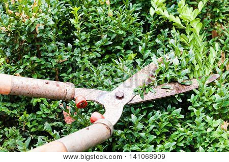 pruning boxwood bushes by garden pruners in summer day