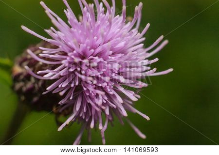 Blown thistle flower bright beckoning to him insects.