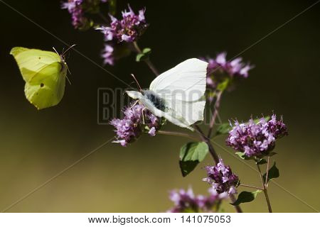 two butterflies, the brimstone one in flight