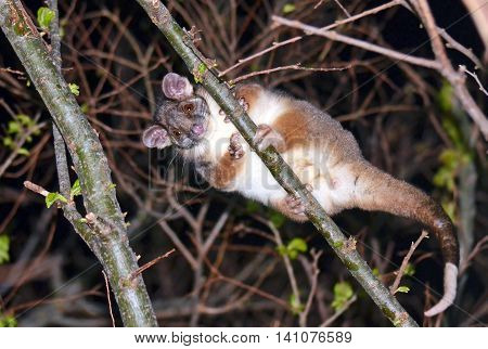 Cute and curious Australian Ringtail Possum looking down from the tree tops in a backyard in Sydney, Australia