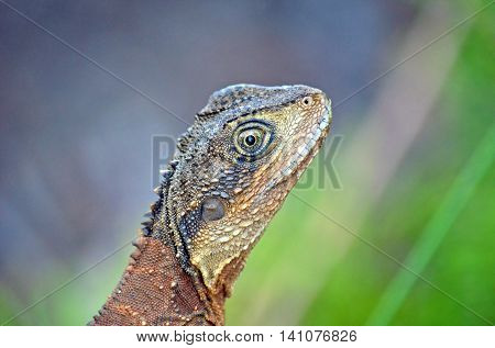 Close up of an Australian Eastern Water Dragon