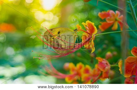 little yellow butterflies are nectar from yellow red flowers on green nature background.