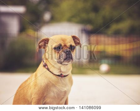 a cute chihuahua pug - chug - looking off in the distance in a backyard on a hot summer day