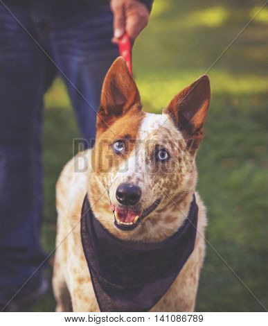 a cute red cattle dog with blue eyes in the grass at a park during summer with a leash and a bandana on toned with a retro vintage instagram filter app or action effect