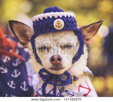a tiny chihuahua with a knitted sailor hat and outfit on toned with a retro vintage instagram filter