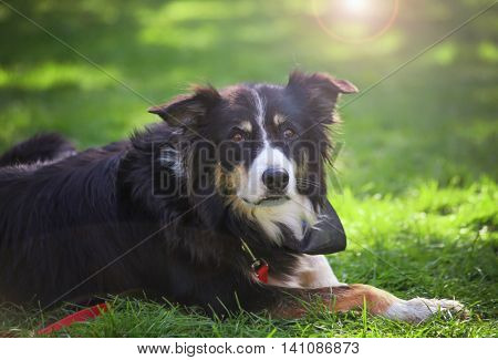 a cute herding dog on the grass at a local park during summer with a lens flare