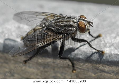 Closeup of a big fly at a sunny day outdoor