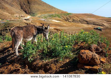 Donkey grazing in the mountainous landscape of Cape Verde