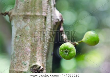 Fig Fruit On The Tree (also Called As Common Fig, Ficus Carica L., Moracaea, Ficus Fig Racemosa L.)