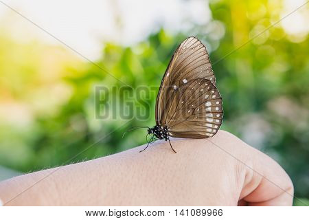 Brown Butterfly on hand in nature background The Long-branded Blue Crow butterfly (Euploea algae)