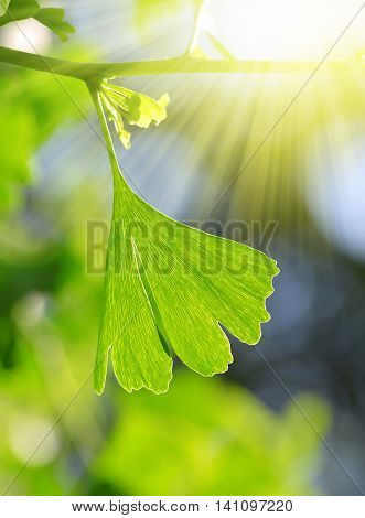 Detail branches with green leaf of Ginkgo Biloba.