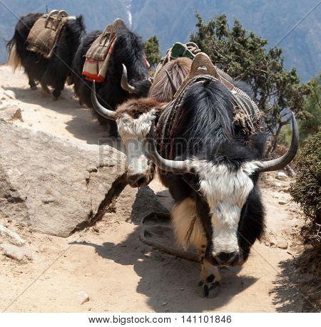 Caravan of yaks going to Everest base camp Sagarmatha national park Khumbu valley Nepal poster