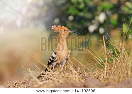 hoopoe rare bird on dry grass with sunny hotspot