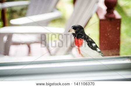 An adorable young Rose Breasted Grosbeak (Pheucticus ludovicianus) lands on my window ledge, and looks inside to see what I might be up to.