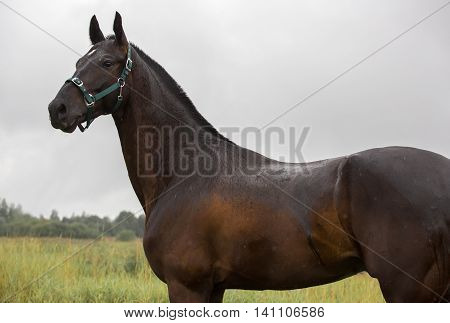 Portrait of a Russian saddle horse in the rain