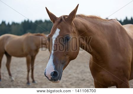 Two Russian Don horses in arena  at summer day