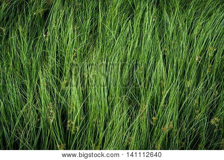 Cocograss close up beautiful green Nut grass pattern from garden