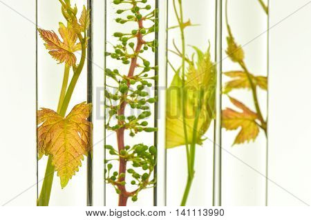 Oenology, young vine shoots in red test tubes, Research Laboratory Biological