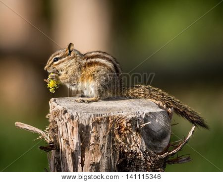 Chipmunk eating on a fence post in Cedar Breaks.