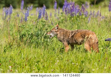 Coyote (Canis latrans) Mouth Open in Field - captive animal