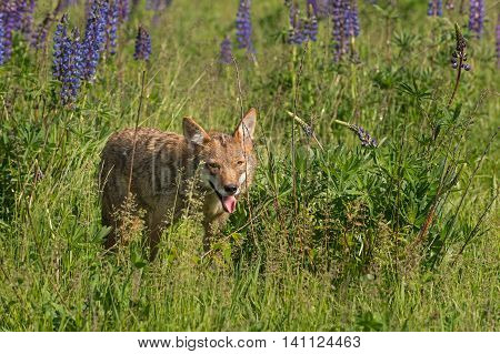 Coyote (Canis latrans) Walks Out of Lupin Patch - captive animal