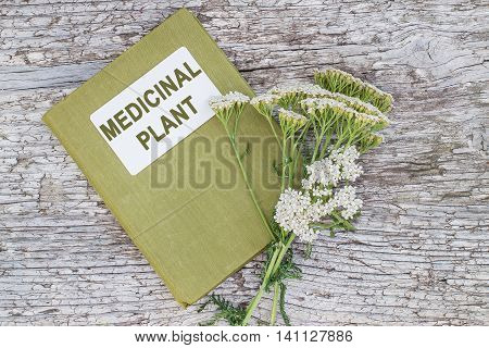 Medicinal plant yarrow (achillea millefolium) and herbalist handbook on old wooden table. Yarrow - a popular means of treatment in herbal medicine has anti-inflammatory and antiseptic properties