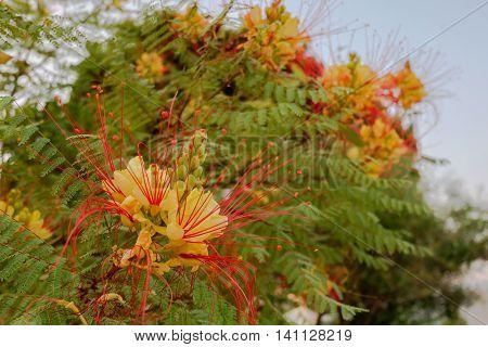Caesalpinia gilliesii common name - Bird of Paradise yellow flower poster