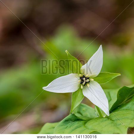 Catesby Trillium