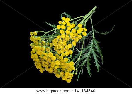 Medicinal plant tansy (Tanacetum vulgare) isolated on a black background. It is used in herbal medicine pharmaceutical food and chemical industry