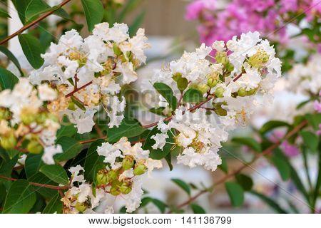 Cherry blossoms Judas tree in Turkey white flowers.