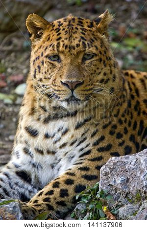 Jaguar wildlife close up head in nature
