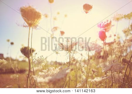 Field of Queen Anne's Lace, meadow wildflowers, shallow focus, Instagram image