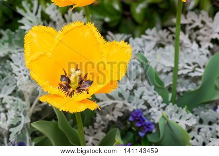 Close-up Tulip Of Anthers With Pollen Grains Of Yellow Tulip