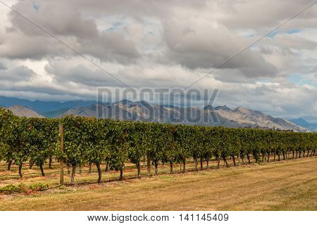 vineyards in Marlborough region in New Zealand at harvest time