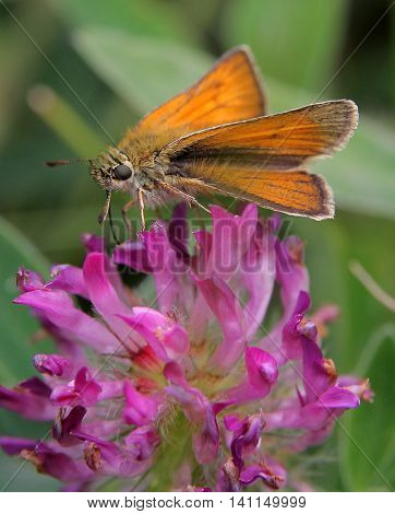 Small Skipper ((Thymelicus sylvestris) butterfly feeding on red clover, Durham, UK