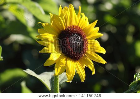 Flower of common sunflower (Helianthus annuus) in a field.