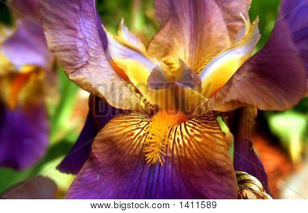 Purple And Yellow Bearded Iris Flower