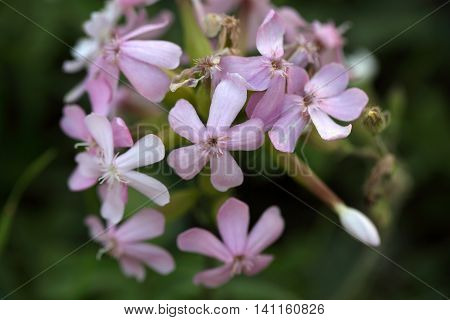 Flower of a common soapwort (Saponaria officinalis) an old medical plant that was used as alternative to soap.
