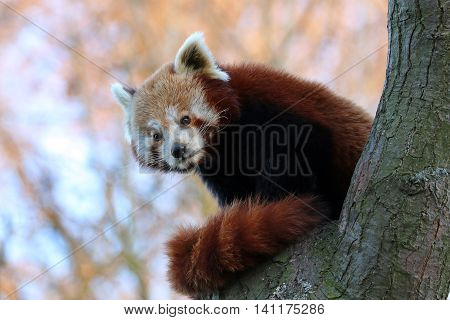 A small red panda in a tree