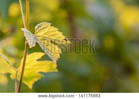 Vine leaves with morning lights and nice bokeh