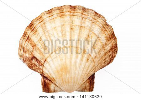 single sea shell of mollusk isolated on white background close up .