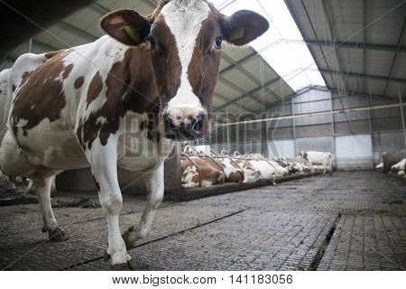 red cow in stable looks at camera and other cows in the background of dutch stable