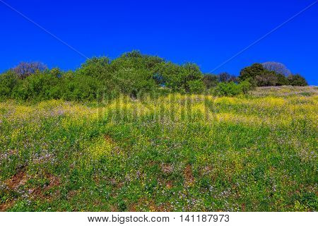 Scenic carpet of spring flowers and fresh herbs. Israel. Legendary Golan Heights in a beautiful sunny day