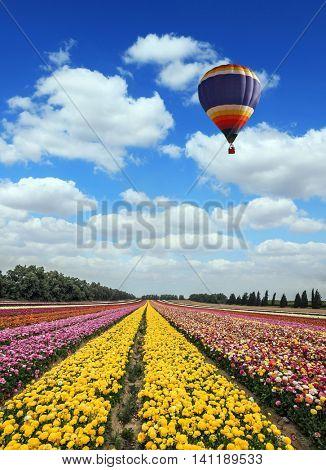Great multi-colored balloon flies over buttercups field. Flower kibbutz near Gaza Strip. Spring flowering buttercups