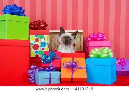 Siamese kitten with blue eyes in red christmas present box ribbons and bows on presents around her on a red striped background looking at viewer with irritated expression. copy space